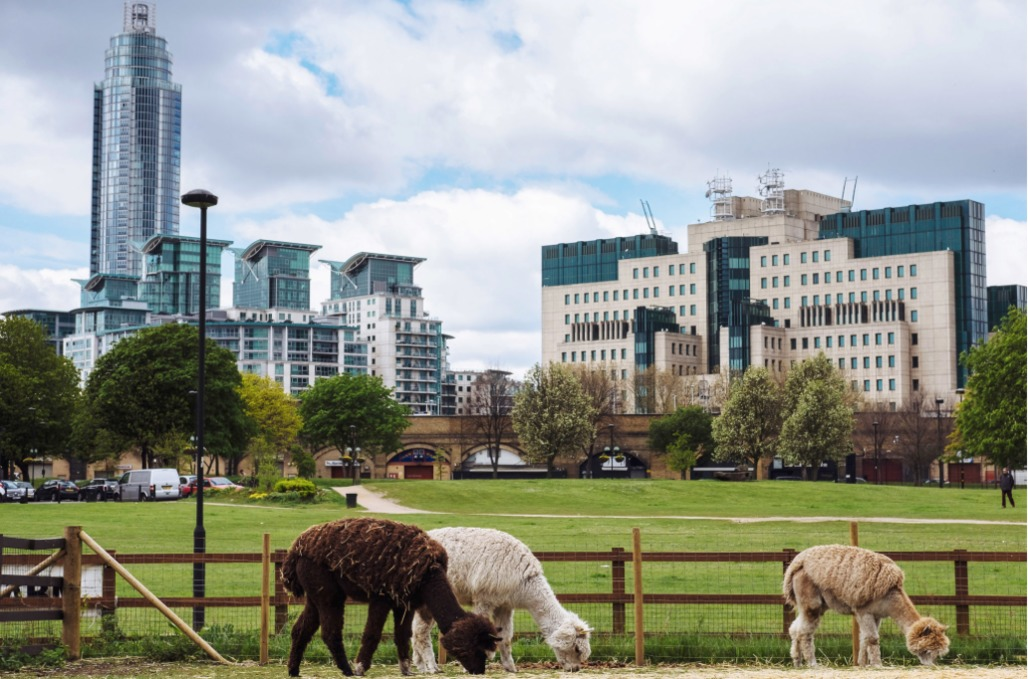 Alpacas graze at Vauxhall City Farm, with the St. George's Wharf development at left; the British Secret Intelligence Service headquarters at right. Photo by David Azia for The New York Times via nytimes.com