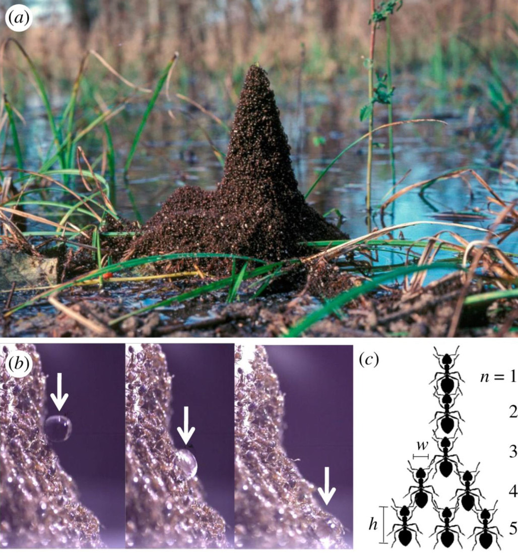 "The shape of an ant tower. (a) A trumpet-shaped ant tower built around emerging vegetation in the Atchafalaya Basin Swamp in Louisiana. Photo courtesy of CC Lockwood. (b) Water droplet rolling down an ant tower. (c) Schematic of five layers of an ant tower with carrying capacity α=2 ants. via <a href=""http://rsos.royalsocietypublishing.org/content/4/7/170475"">Royal Society Open Science</a>"