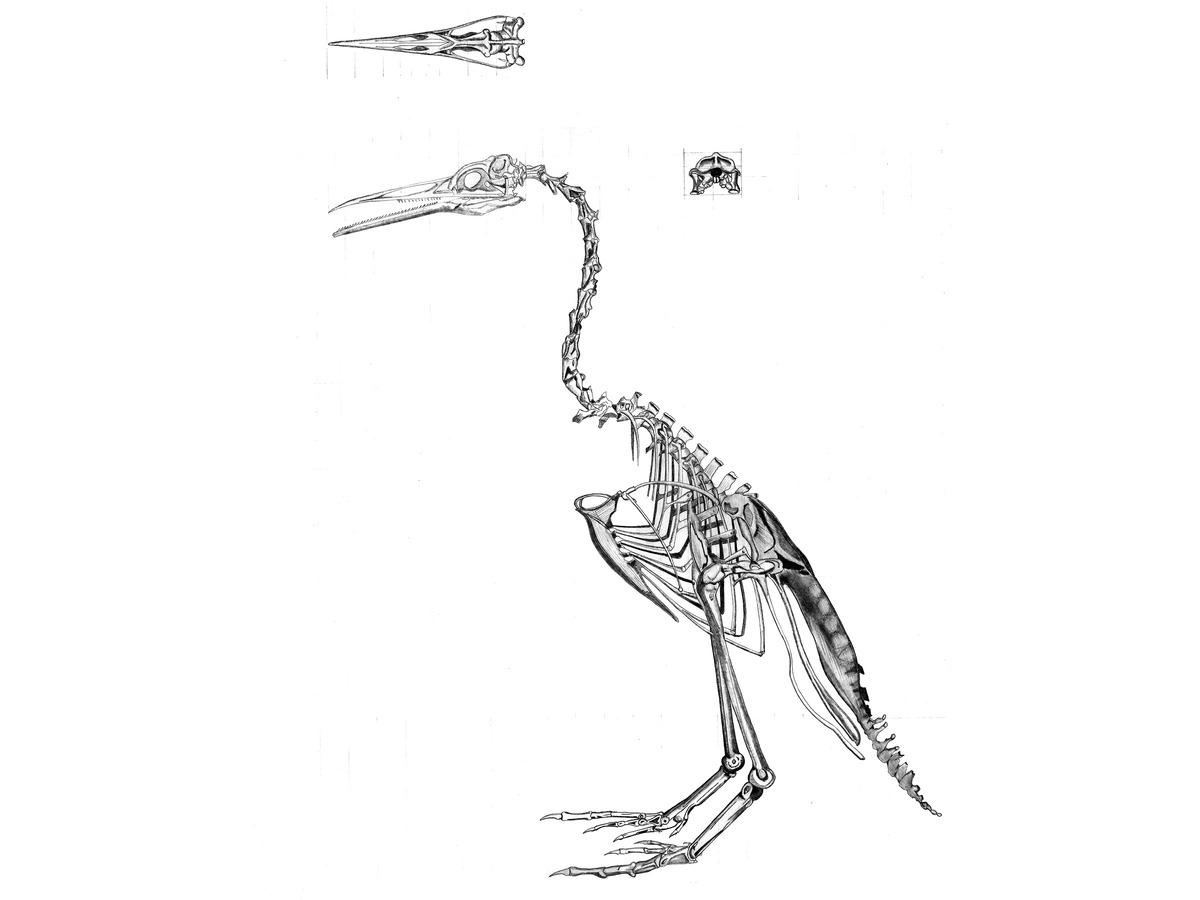 Analysis of bird skeleton