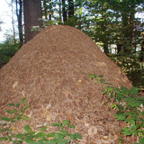 This anthill is formally similar to ziggurat-style architecture. Credit: WikiCommons