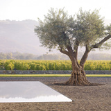Landscape Architecture: Andrea Cochran Landscape Architecture - Specimen olive trees articulate the planar landscape, providing focal elements in the foreground of the expansive valley beyond, Walden Studios, Geyserville, CA, 2006. Photo: Marion Brenner