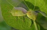 Learning from stinkbugs