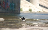 A thriving ecosystem of shorebirds calls the LA River's concrete bottom home