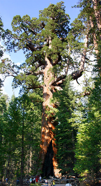 "Being a main attraction in Yosemite National Park certainly makes one a very famous tree: The ""Grizzly Giant"" is a landmark ancient Giant redwood. (Photo: Mike Murphy; Image via Wikipedia)"