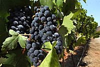 Cabernet grapes grow on the vine at the Orfila winery in Escondido. (Photo: HAYNE PALMOUR IV)