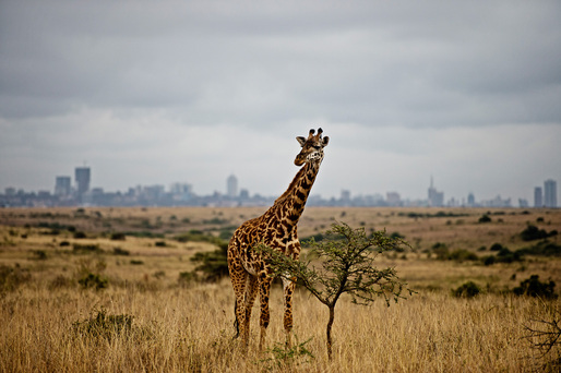 A giraffe against the skyline of Nairobi in Nairobi National Park © James Morgan WWF US