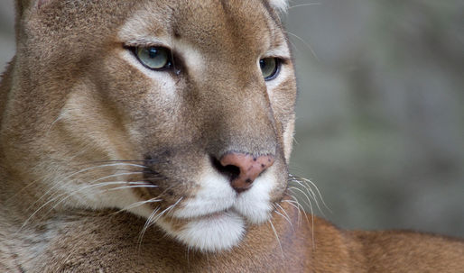 Housing developments change puma behavior