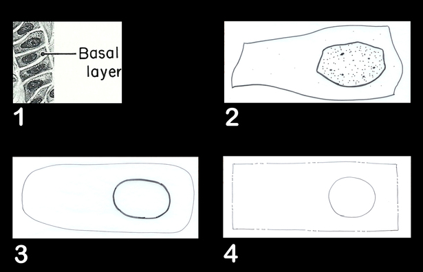 1-Basal Layer, 2-single Basal Cell, 3-transformation, 4-property boundary association. The bubble would indicate where the building structure would like to be.