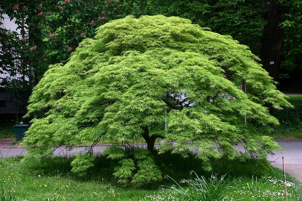 Acer palmatum