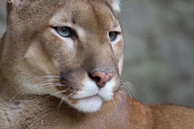 A new research study indicates that puma hunting behavior changes when they are living in proximity to human development. Credit: Wikipedia