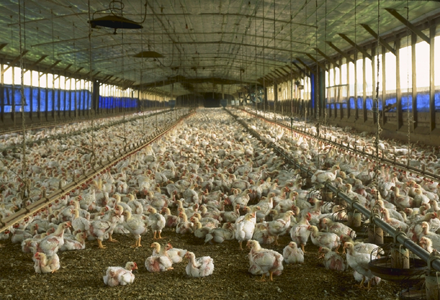 "Industrial meat production, as illustrated by this ""chicken house"" in Florida, has profound ecological ramifications. According to a new UN report, developing countries must not mimic Western eating habits if the worst of climate change is to be avoided. Credit: Wikipedia"