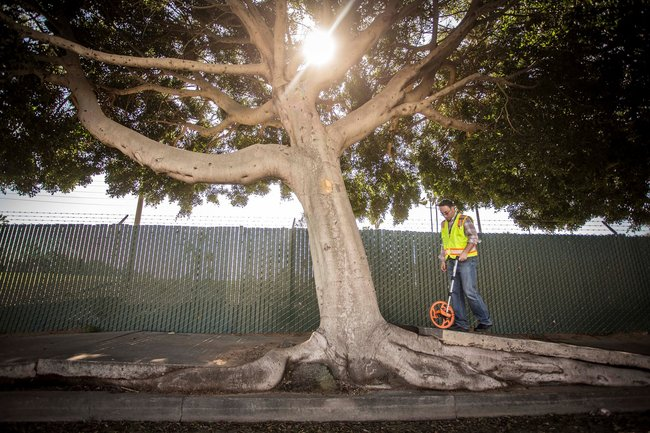 LA has a love-hate relationship with its countless ficus benjamina trees. (Image via hdrinc.com)