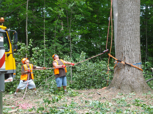 The selected tulip poplar tree was located in a stand of trees sold as timber outside Lapel, Indiana. A crane supported the top of the tree as the loggers rigged the bottom. Courtesy Visiondivision.