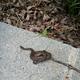 Brown snake, Storeia dekayi